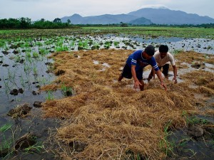 Filipino rice farmers in Laguna province. Photo by IRRI Images